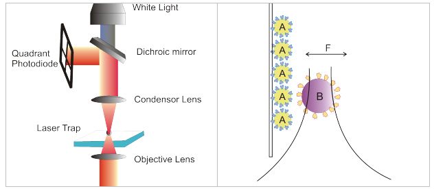 Figure: Schematic representation of the implementation and principle of photonic force microscopy